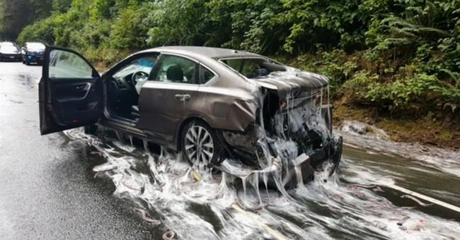 Eels from overturned truck slime cars on Oregon highway