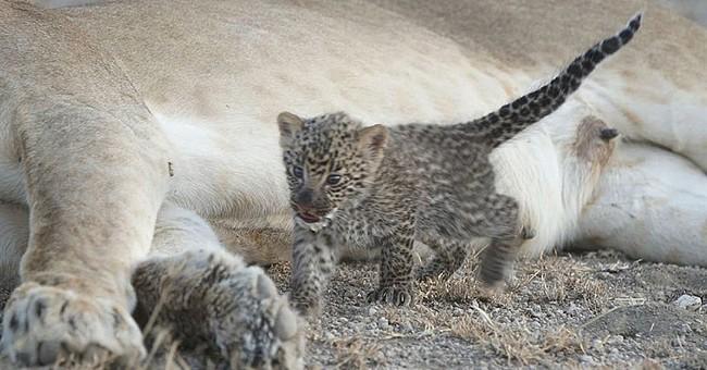 'Unique:' Lion seen nursing leopard cub in Tanzania