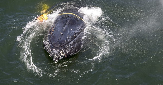 California rescuers free humpback snagged by fishing anchors