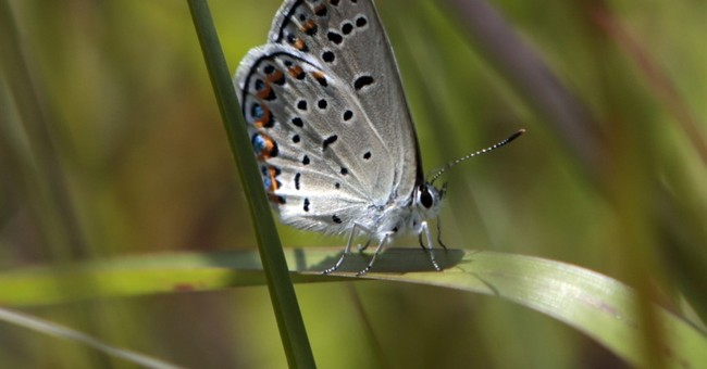 NY: Endangered Karner blue butterfly exceeds recovery goals
