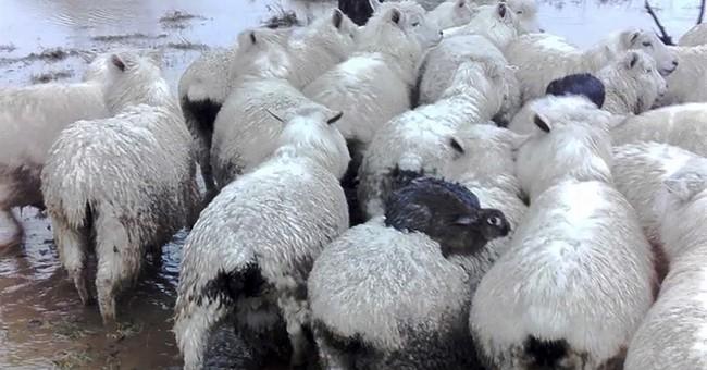 Hop on! Wild rabbits surf on sheep to flee New Zealand flood