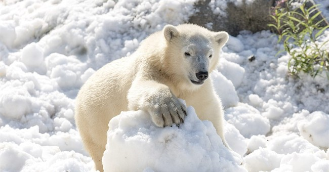 Summer treat: Polar bears frolic in donated load of snow