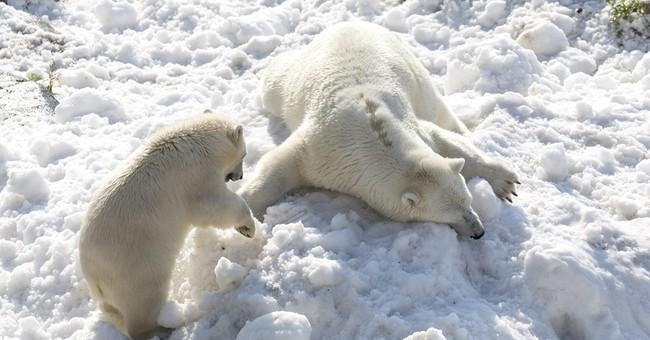 Summer treat: Polar bears frolic in donated load of snow