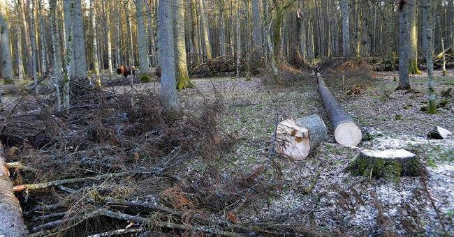 EU court orders Poland to halt logging in ancient forest