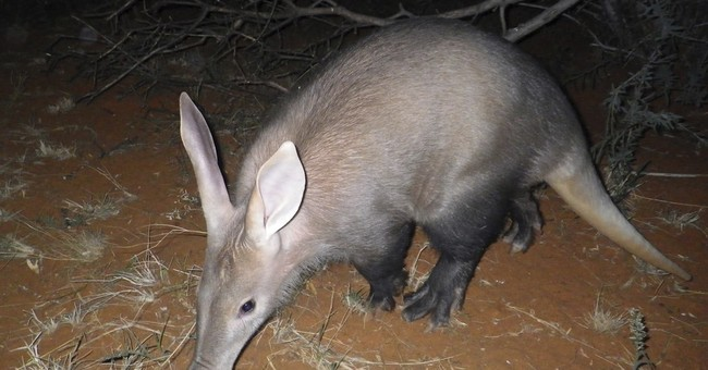 Study finds aardvarks suffering as African climate heats up