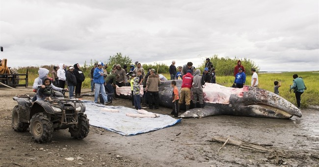 Native hunters kill whale that made its way to Alaska river