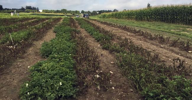 Canada OKs Idaho company's genetically engineered potatoes