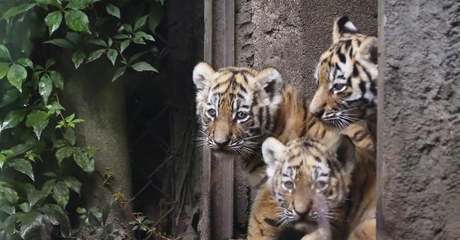 4 Siberian tiger cubs make public debut at Hamburg zoo