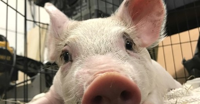 Woman saves piglet from traffic, raises cash for its surgery