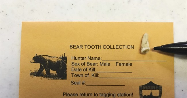 Growing bear population means thousands more teeth to sort