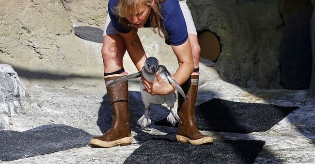 Baby penguin debuts at California's Aquarium of the Pacific