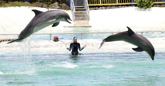 Groups propose ocean refuges for captive dolphins, whales