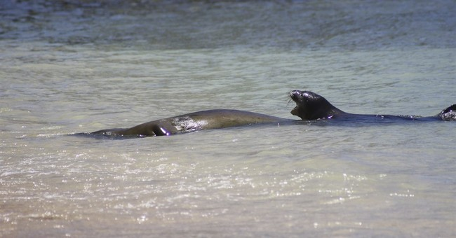 Newborn Hawaiian monk seal to be moved out of Waikiki
