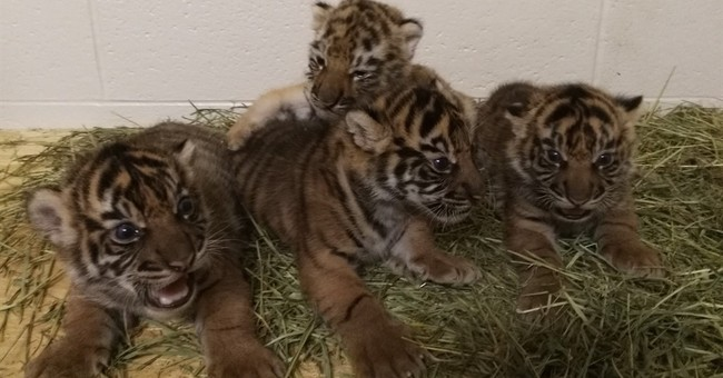 Oklahoma City Zoo launches webcam to show adopted tiger cub