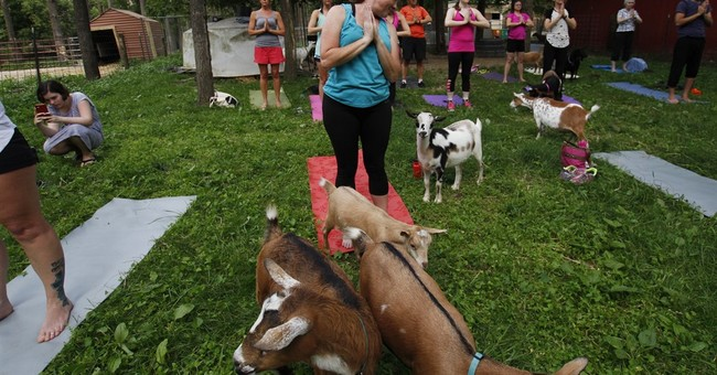 Downward dog meet jumping goat: Goats invade yoga classes