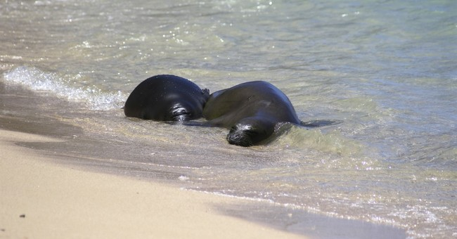 Weaned Hawaiian monk seal moved to undisclosed location