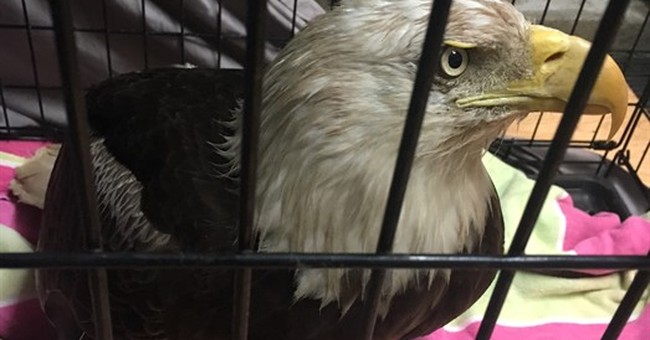 Wildlife officials determine bald eagle had lead poisoning