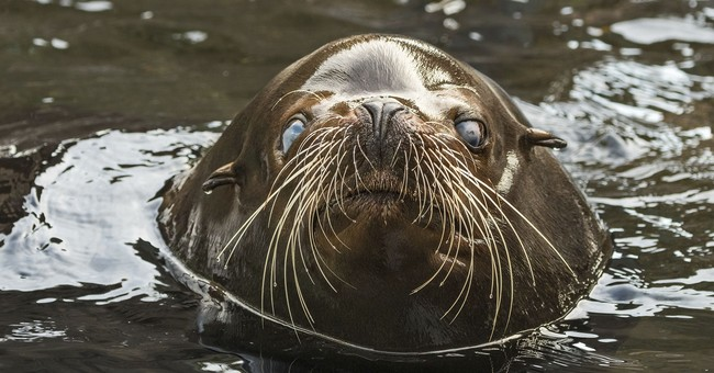 Buddy the blind sea lion goes to Los Angeles Zoo