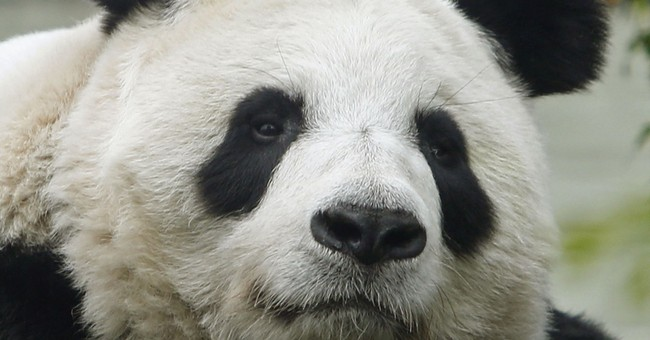 Hopes soar in Scotland: Edinburgh Zoo panda may be pregnant
