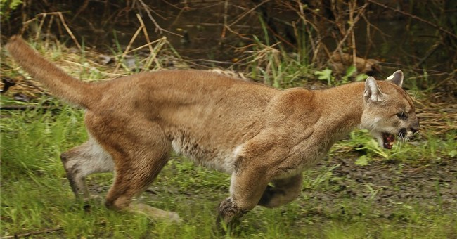 Wildlife officials kill cougars preying on pets in Oregon