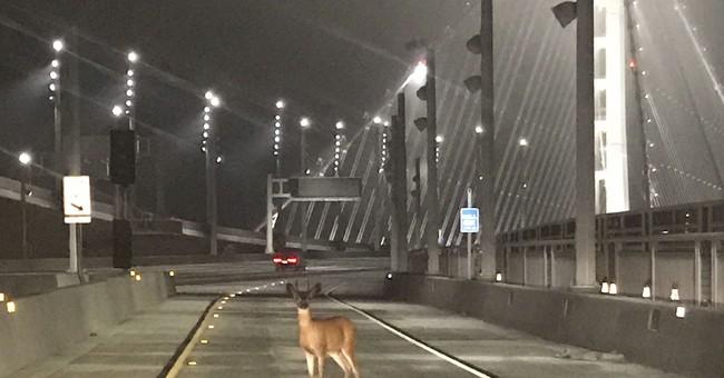 Officers stop deer on California bridge for 'toll evasion'