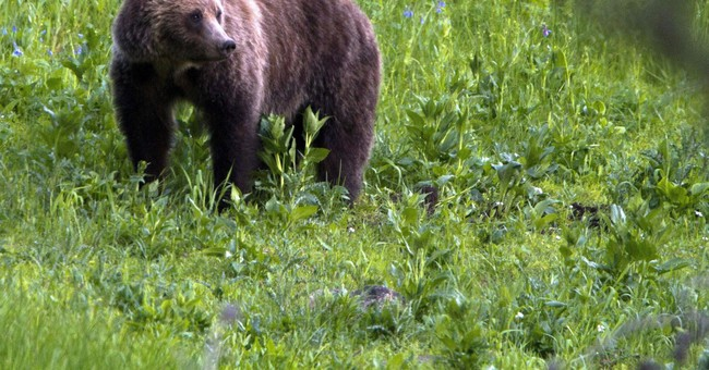 Groups sue to protect Yellowstone bears as hunts anticipated