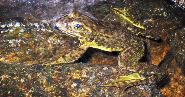 Inoculations give endangered California frog a shot at life