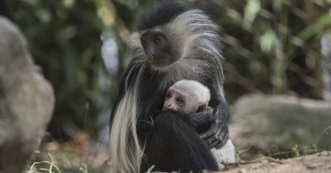 Cute, fit and popular: Angolan colobus monkey born at NY zoo