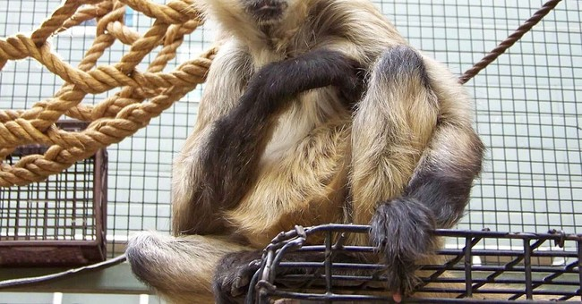 A monkey named Spiderman dies in New York at age 43