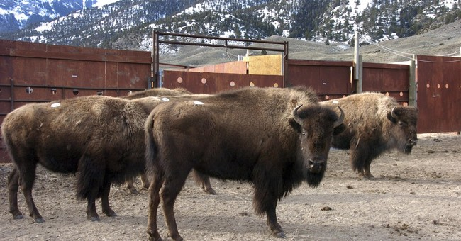 APNewsBreak: Montana temporarily blocks bison slaughters
