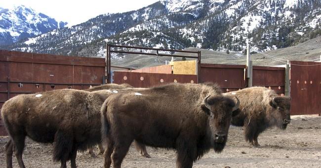 APNewsBreak: Montana temporarily blocks bison slaughters