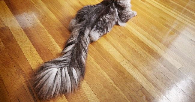 Guinness records include long-tailed cat, old bodybuilder