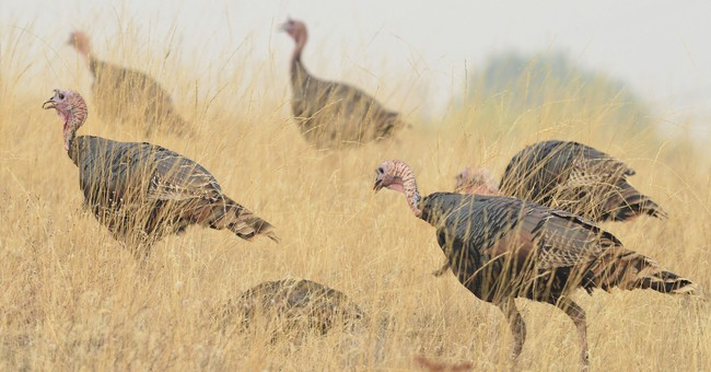 Oregon town seeks solutions to wild turkeys, their droppings