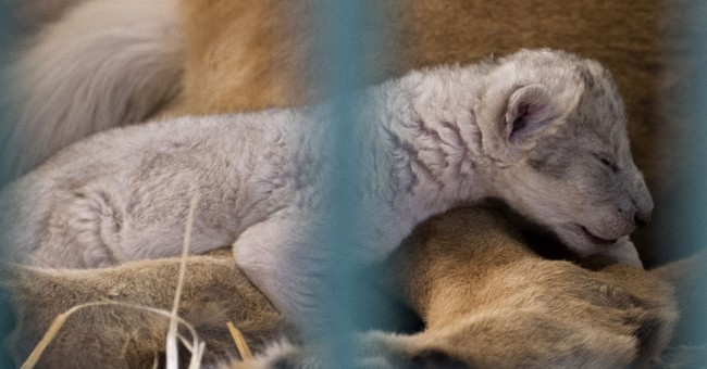 Month-old cub born to rescued Syria zoo lion dies in Jordan