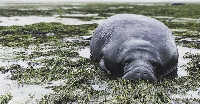 2 stranded manatees helped after Irma sucks water from bay