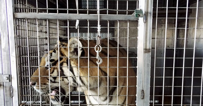 7 tigers, 6 lions and a leopard found in Arkansas barn