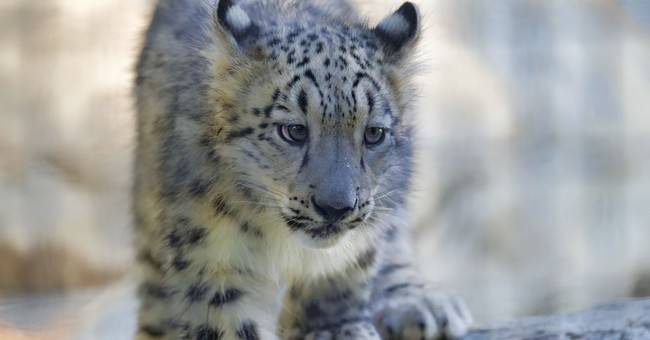 Fuzzy snow leopard kittens romp and roll for LA Zoo debut