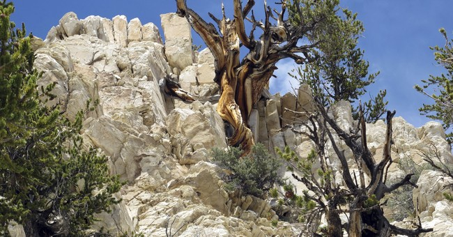Scientists: Future of oldest tree species on Earth in peril