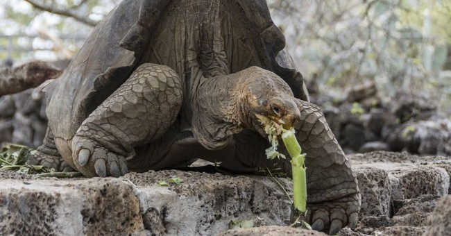 Scientists hope to restore extinct Galapagos tortoise