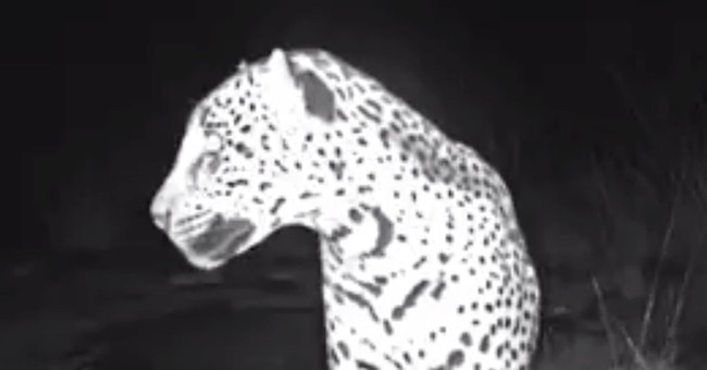 New video shows wild jaguar roaming in southern Arizona