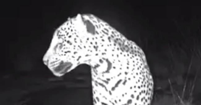 New video shows wild jaguar roaming in southern Arizona