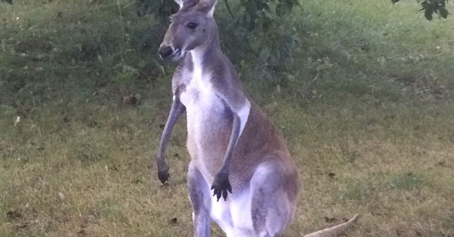 Help! Help! There's a kangaroo loose on Highway L