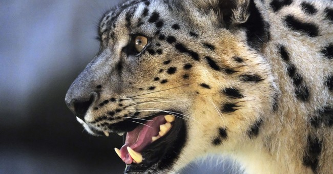 Long-endangered snow leopard upgraded to 'vulnerable' status