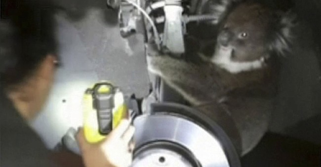Koala survives 10-mile Australia trip in wheel arch
