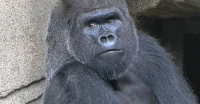 Cincinnati Zoo welcomes new gorilla a year after Harambe