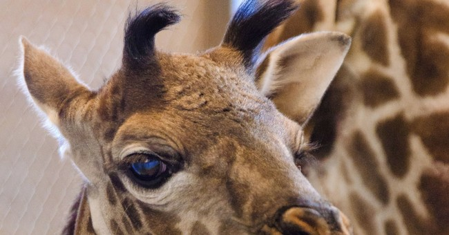 Phoenix zoo celebrates birth of baby giraffe