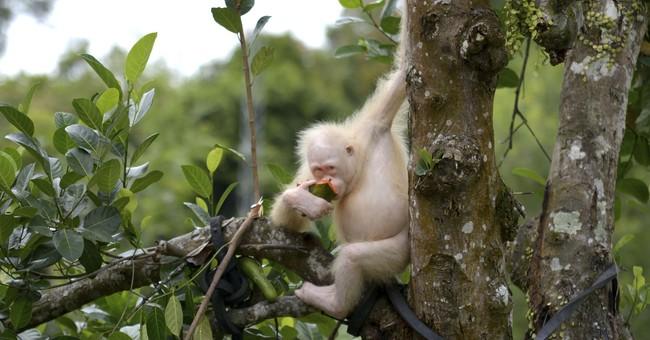 Foundation to create special reserve for albino orangutan
