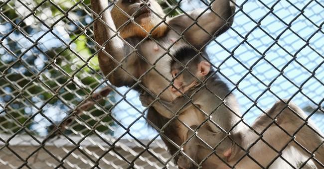 2 baby mandrill monkeys make debut at Los Angeles Zoo