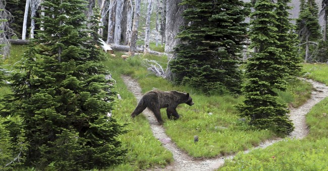 US considers ending protections for northwest Montana bears