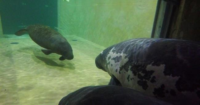 Manatee sent to Columbus Zoo from Florida for rehabilitation